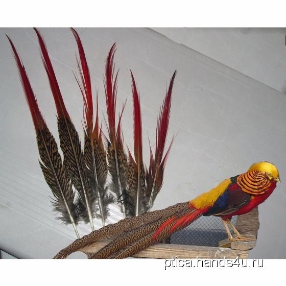 Купить Перья птицы Золотой фазан, Перья, Другие виды рукоделия ручной работы. Мастер Птица Летящая (Ptica) . натуральные перья