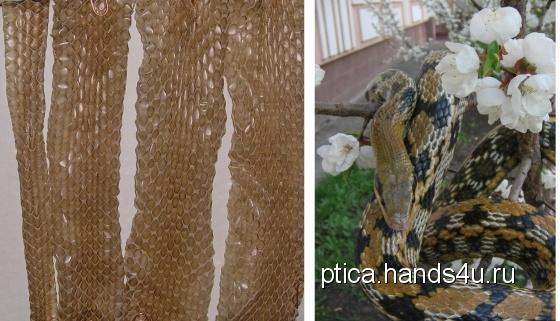 Купить Выползки не ядовитых змей, Аппликации, вставки, отделка ручной работы. Мастер Птица Летящая (Ptica) . выползок змеи