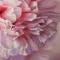 Купить ПИОНЫ, Картины цветов, Картины и панно ручной работы. Мастер Екатерина Федченко (KaterinaFed) .