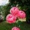 Купить Пионы, Смешанная техника, Цветы, Цветы и флористика ручной работы. Мастер Ольга Сорокина (Kupa) . цветы из бумаги