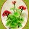 Купить Герань из капрона, Из ткани и кожи, Интерьерные композиции, Цветы и флористика ручной работы. Мастер Елена Белецкая (mianamiana) .