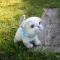 Купить сиамский котенок, Коты, Зверята, Куклы и игрушки ручной работы. Мастер Светлана Петрова (Svetlana207) . котята