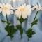 Купить Вязаные ромашки, Вязаные, Букеты, Цветы и флористика ручной работы. Мастер   (Aveliya) . вязаные ромашки