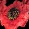Купить Обруч с красным цветком, Диадемы, обручи, Украшения ручной работы. Мастер Виктория Лемеш (VictoriaDLys) . ярко-красный
